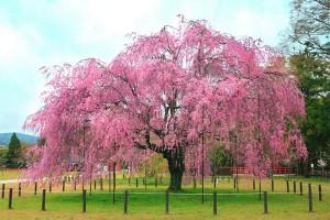 cherryblossom tree